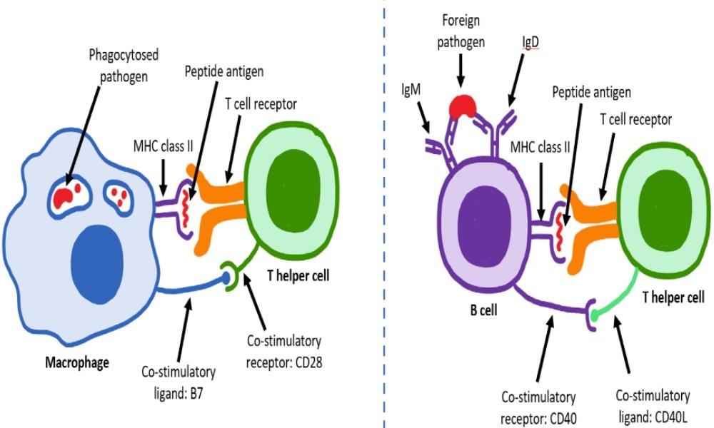 Τ-λεμφοκυτταρα και ανοσια στον κορωνοιο